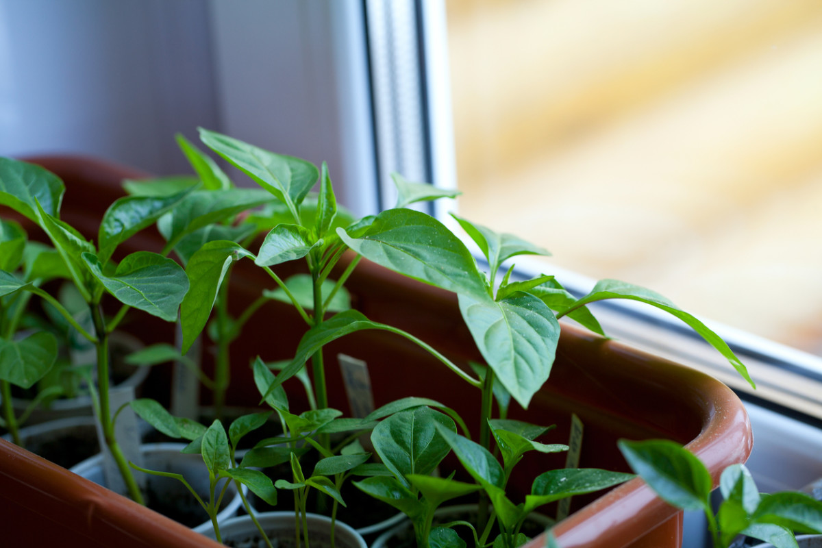 Growing Vegetables Indoors Is Easier Than You Think (Even in an Apartment) pics