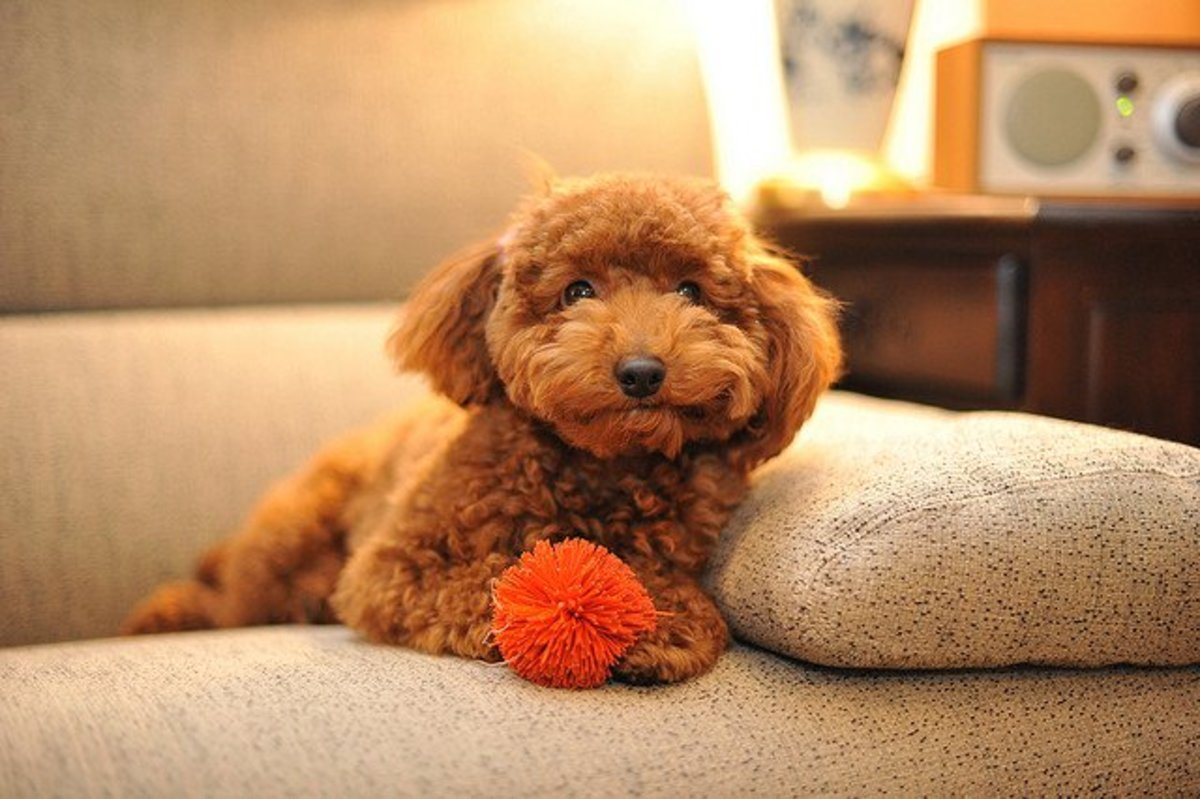 Dog on couch with toy