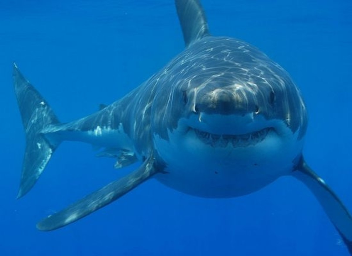 Shark-ccfclr-hermanusbackpackers1