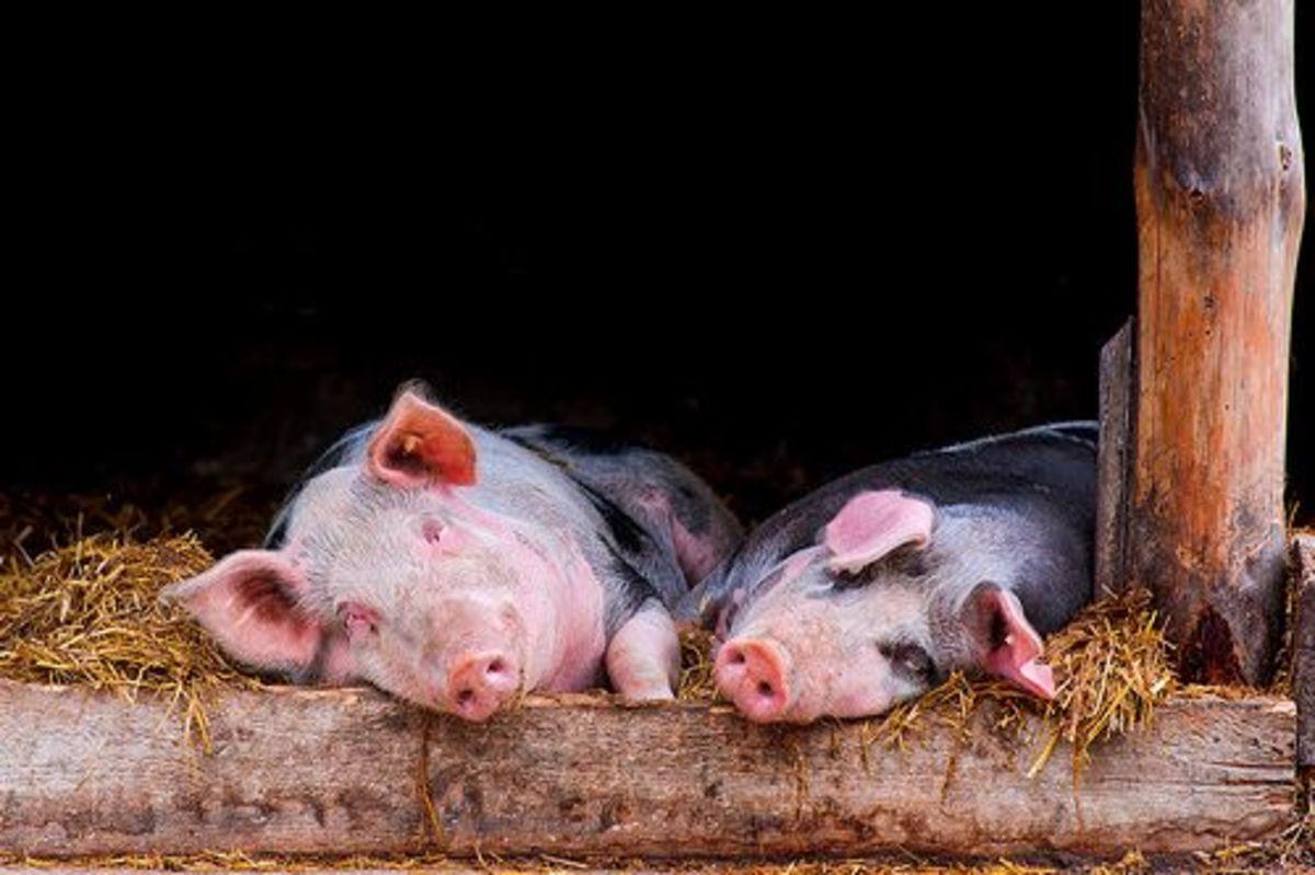 pigs-ccflcr-tambako