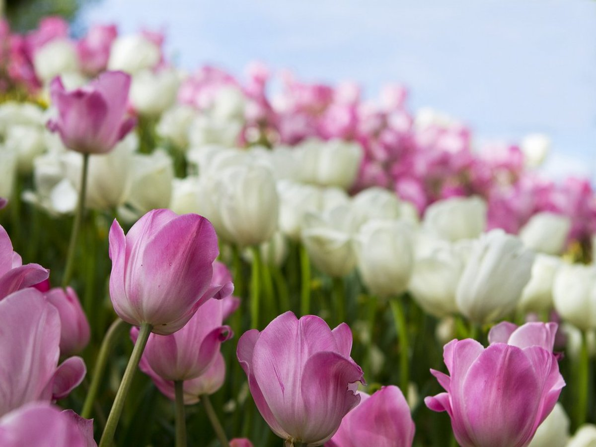 Tulips are stunning pring flowers.