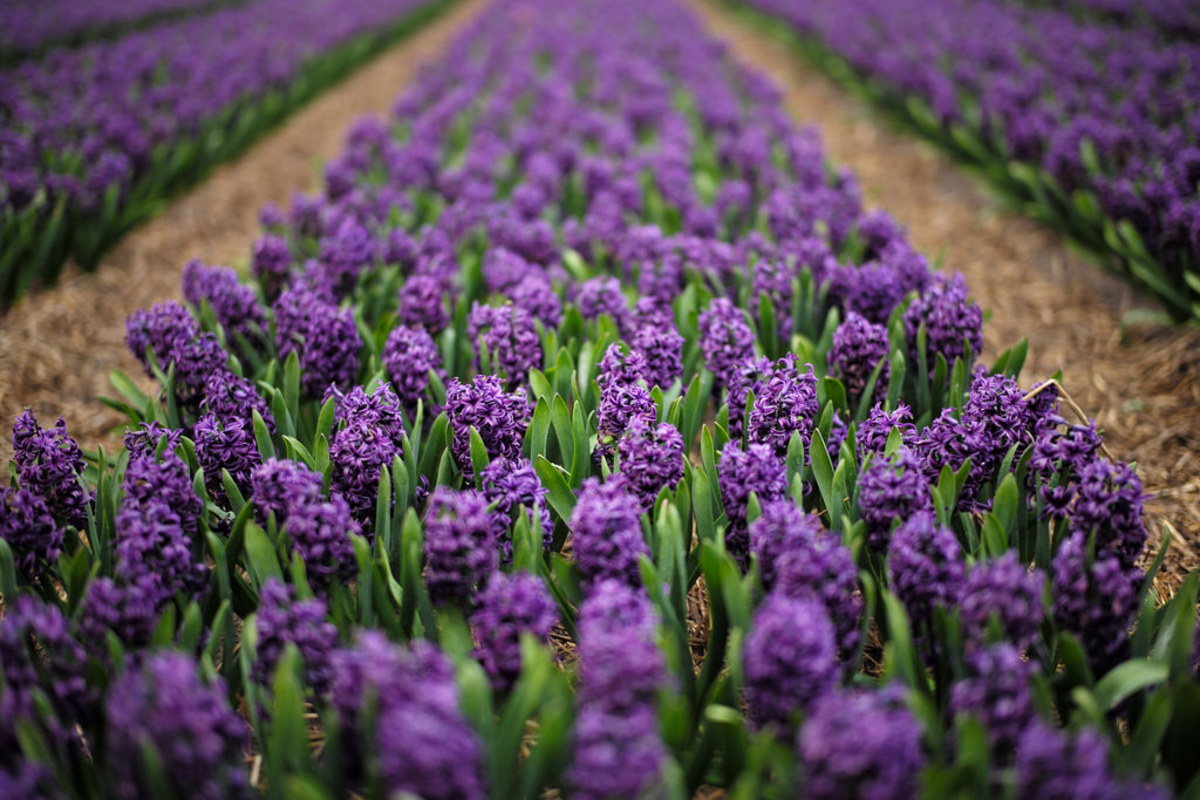 Hyacinths are fragrant spring flowers.