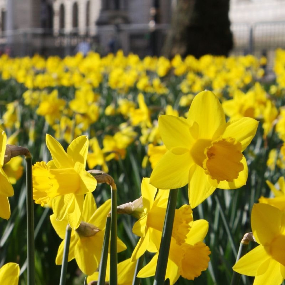 Daffodils are common spring flowers.