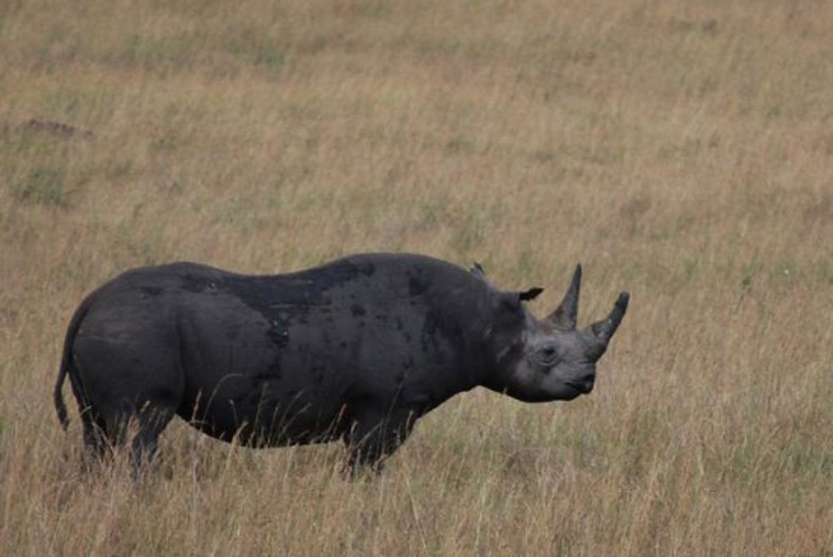 an introduction to the nature of black rhino Black rhino taxonomy/description the black rhino's scientific name is diceros bicornis, which means two-horned, two-horn the black rhinoceros is a member of the rhino family, rhinoceridae in the mammalian order of perissodactyla.
