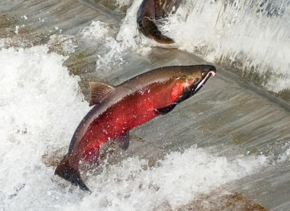 wild salmon/></p>  <p><a href=