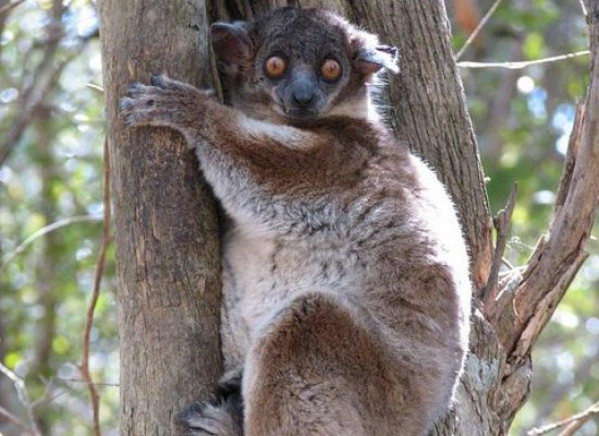 lemur-ccflcr-NH53