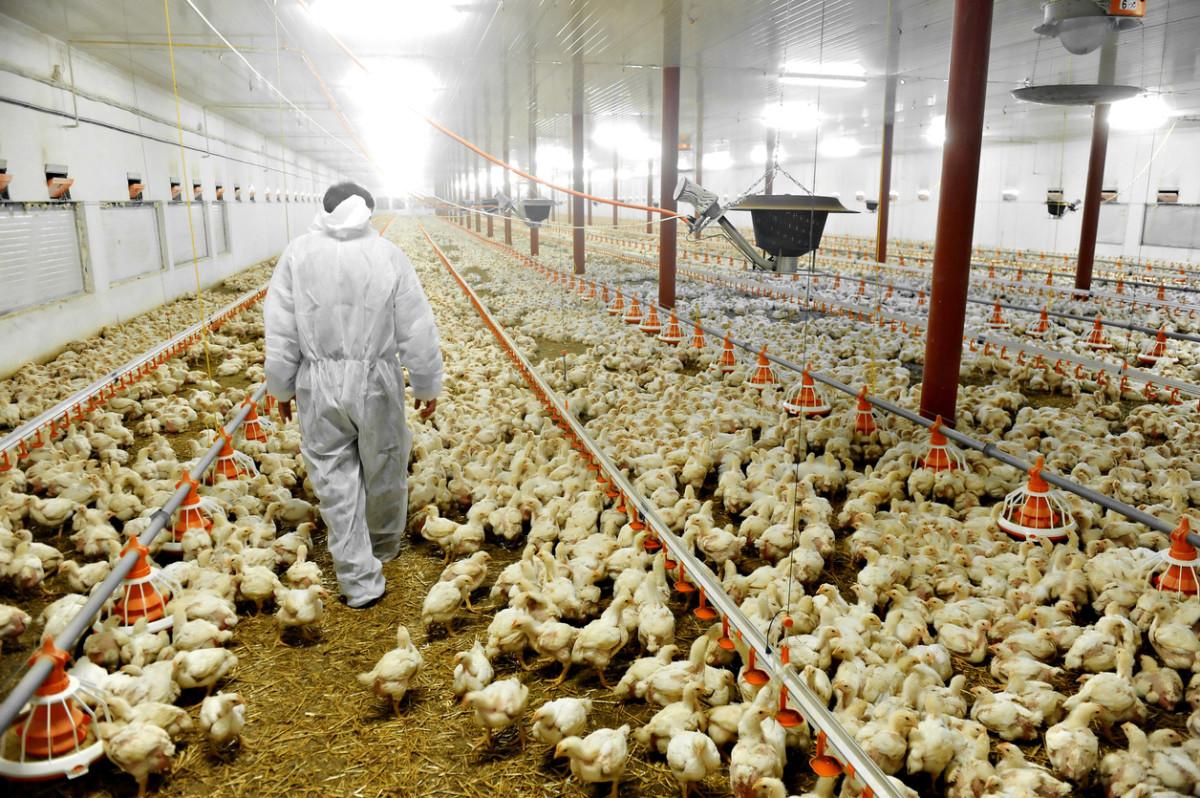 Bird Flu Hits Tyson Foods Supplier in Tennessee