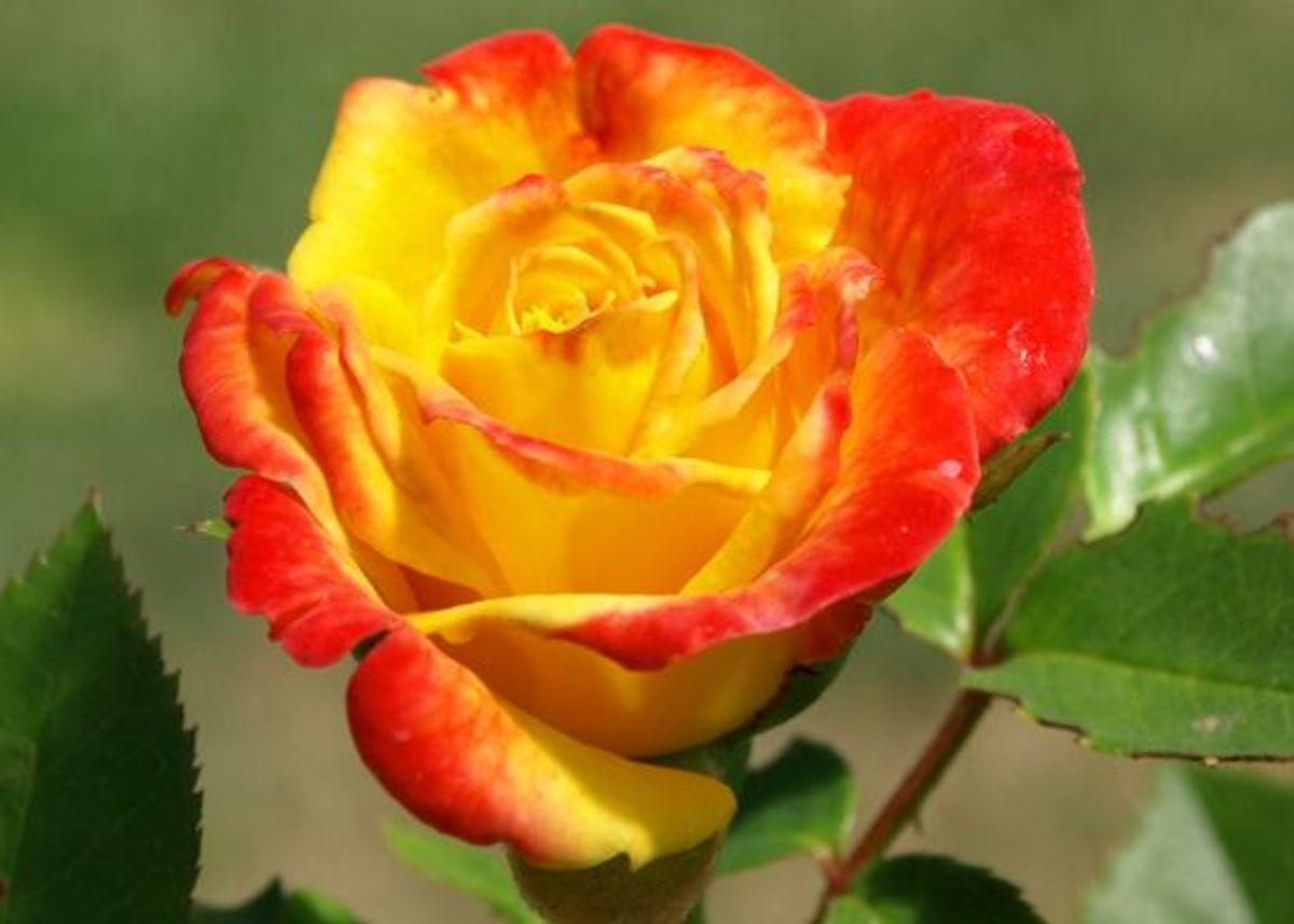 A Rose Colored Garden 10 Different Types Of Roses To Grow