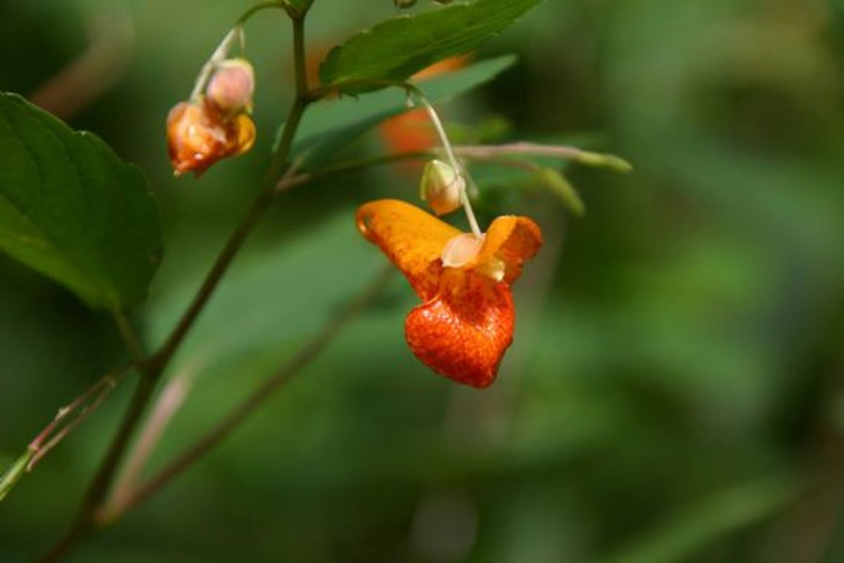 jewelweed-ccflcr-lhalstead