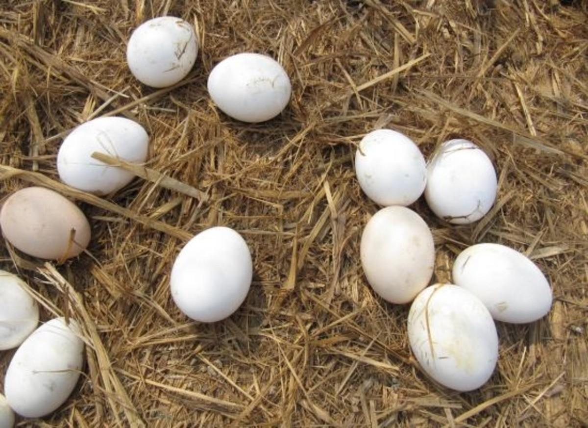 eggs-ccflcr-ivanwalsh