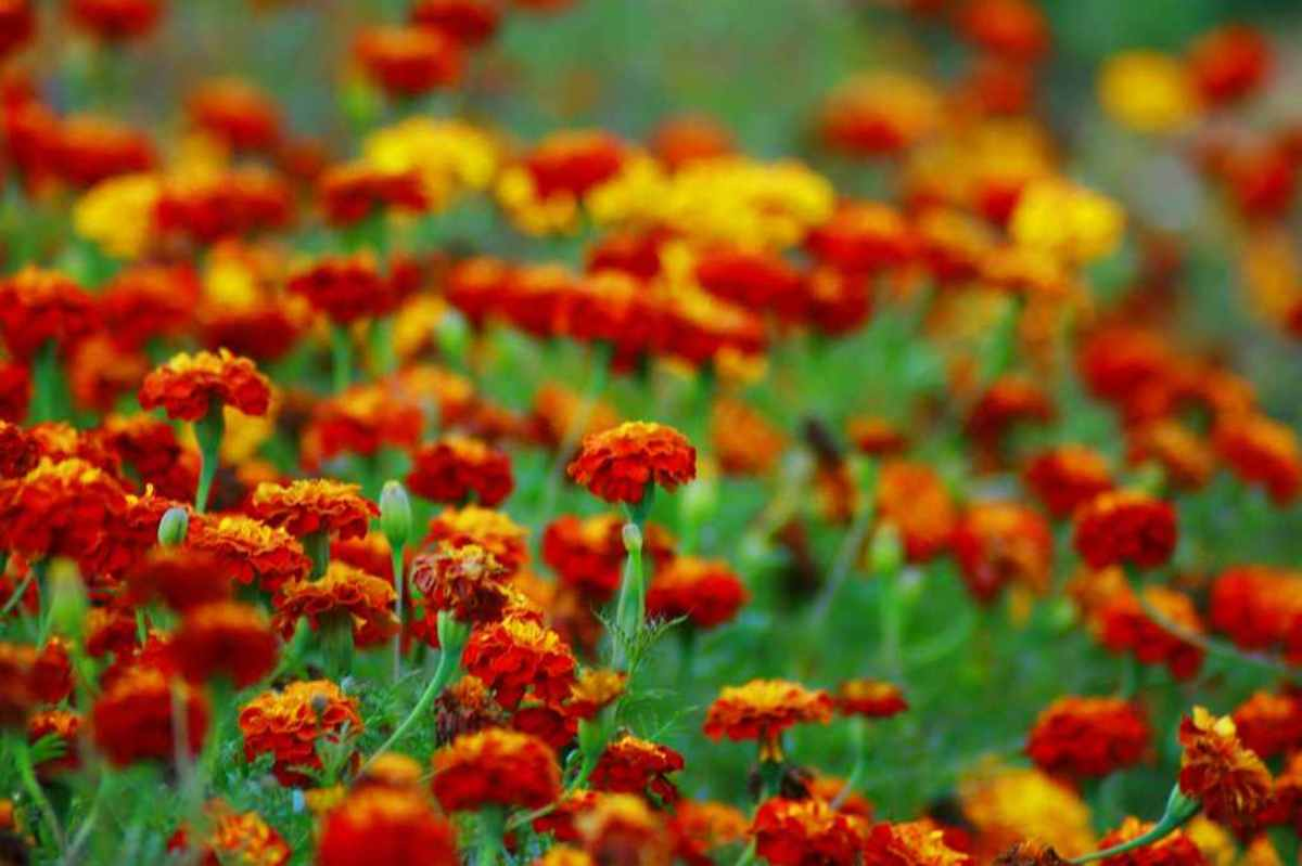 marigolds6-15
