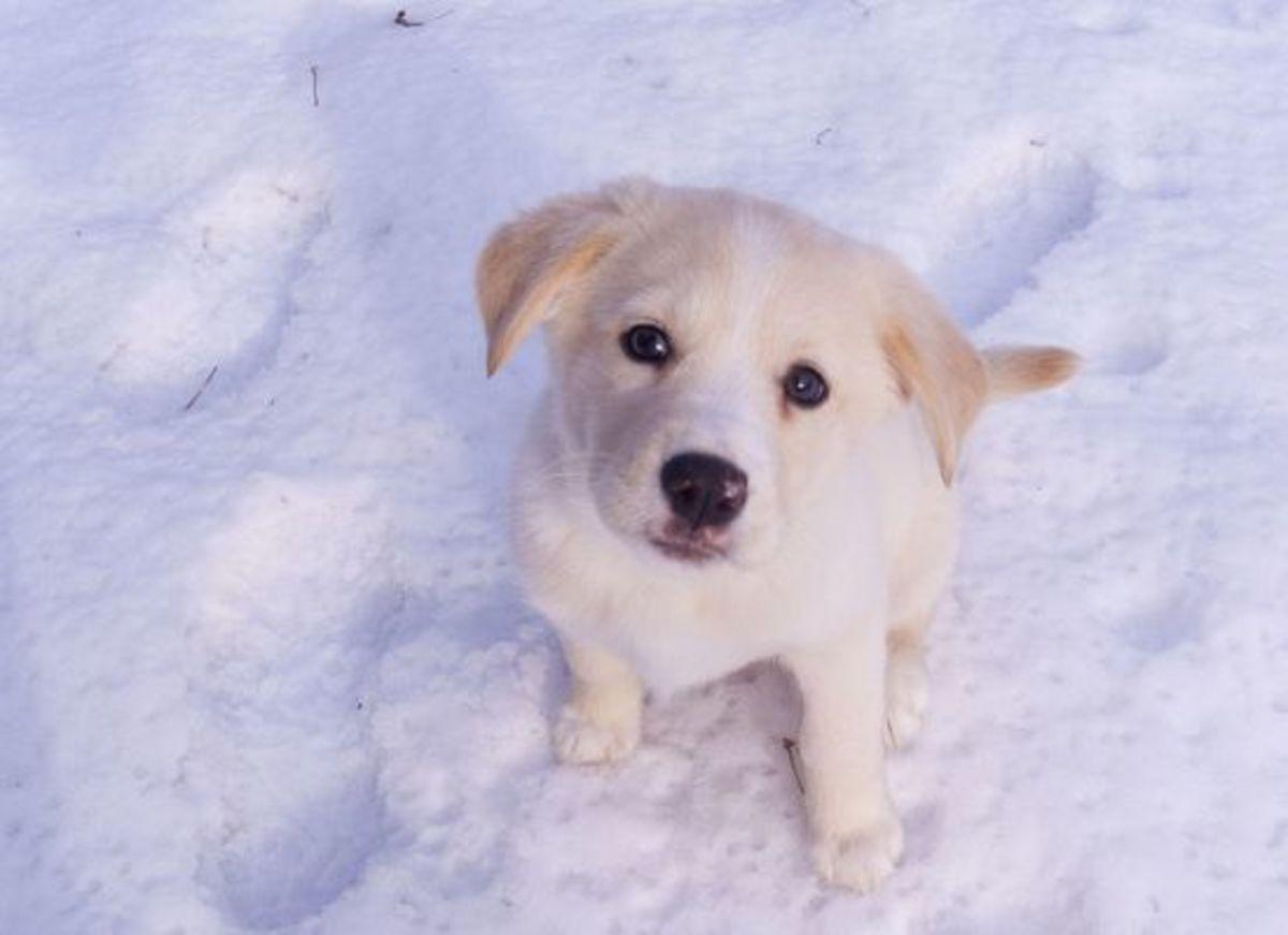 puppy-ccflcr-jpctalbot