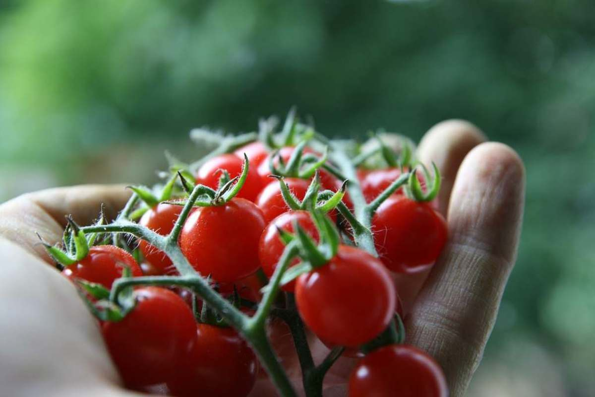 8 tips for growing a greenhouse organic vegetable garden for Ideas for tomatoes from the garden