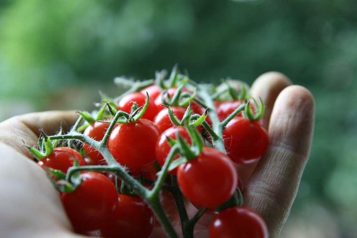 tomatoes6-15