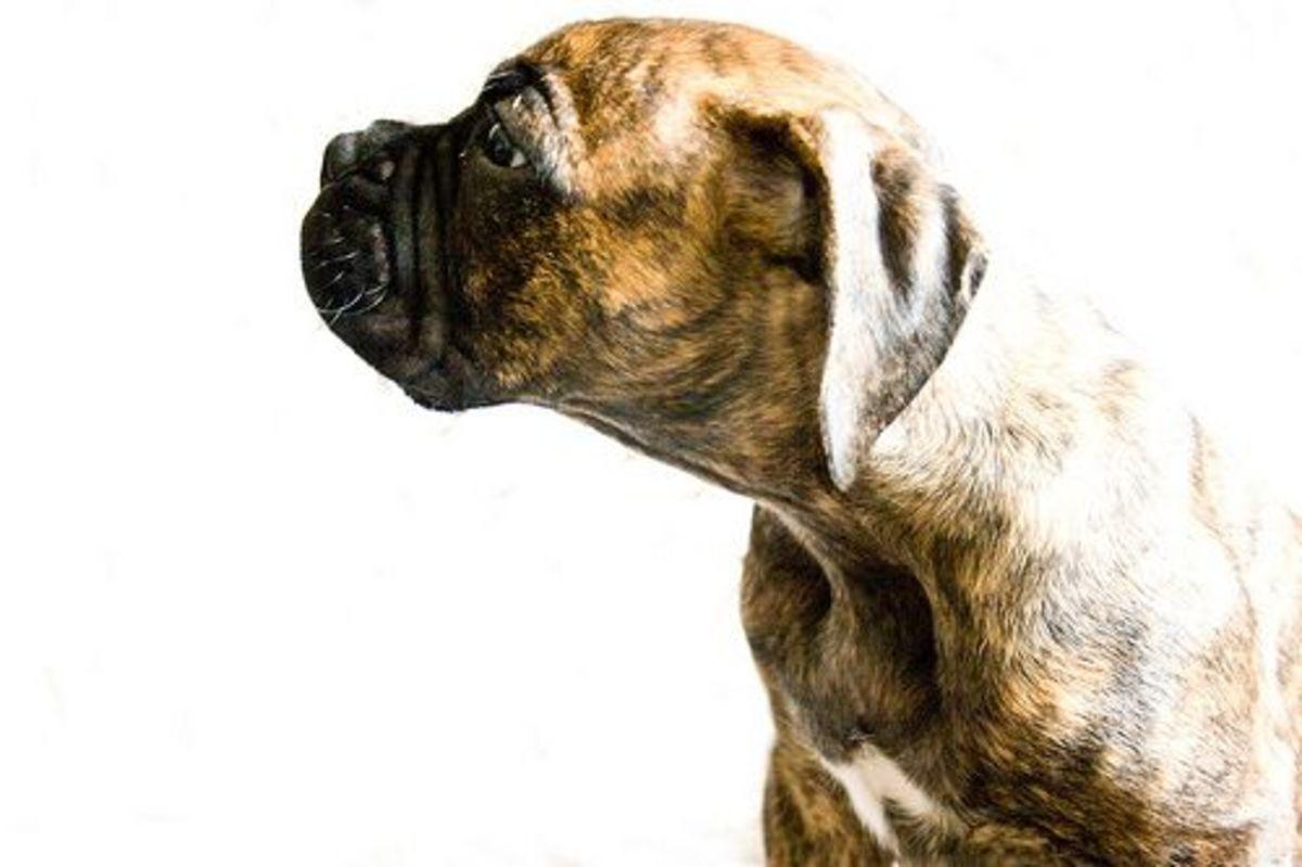 dog-ccflcr-katie