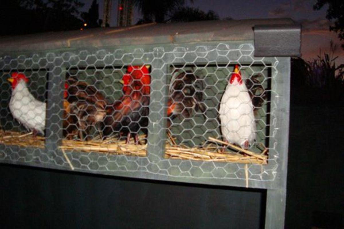 chickens-ccflcr-edder2821