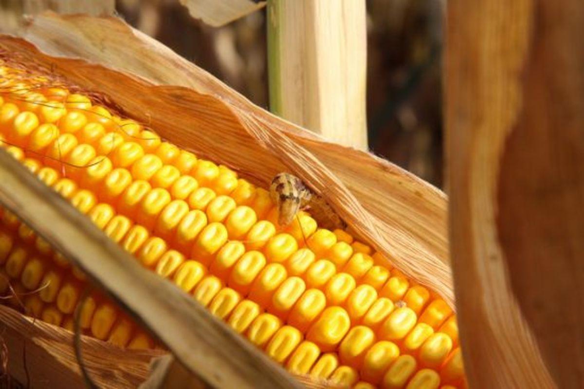corn-ccflcr-AlternativeHeat1