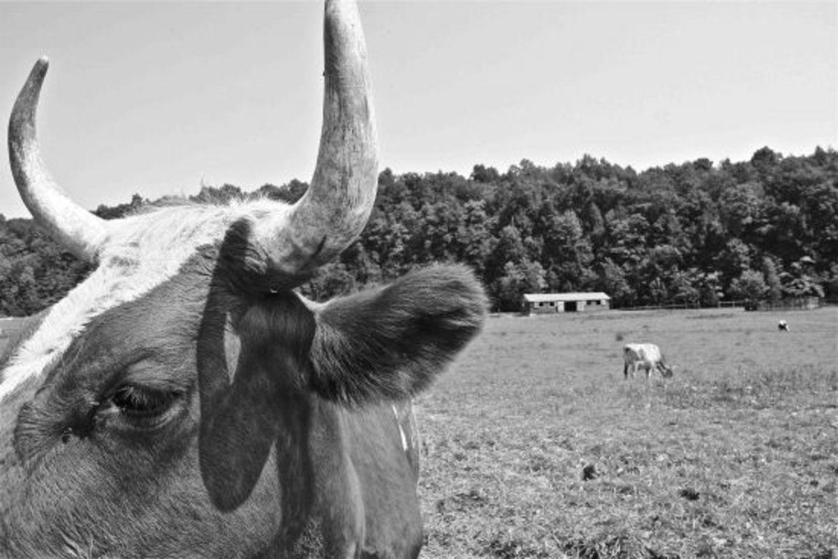 cow-jillslibrary-jillettinger1
