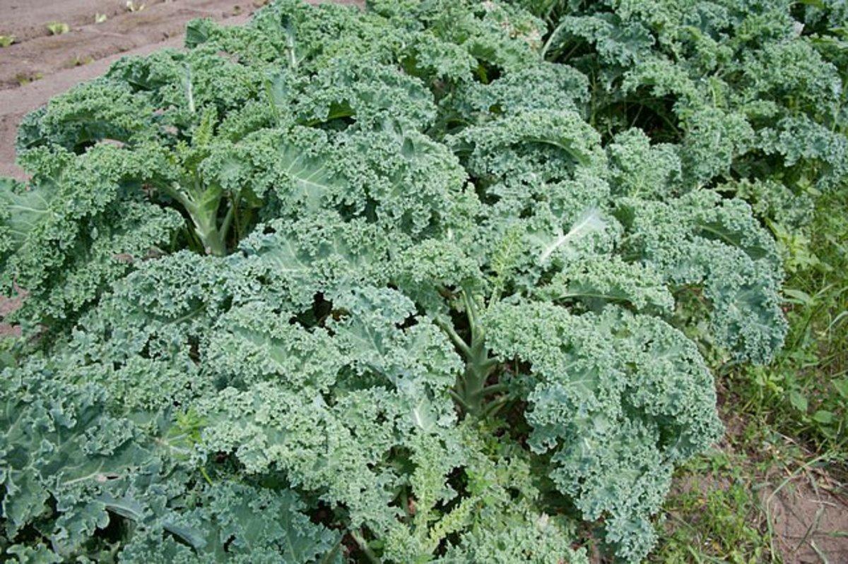 Dangers of kale