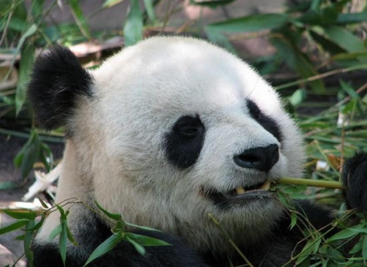 panda-ccflcr-lrargerich1