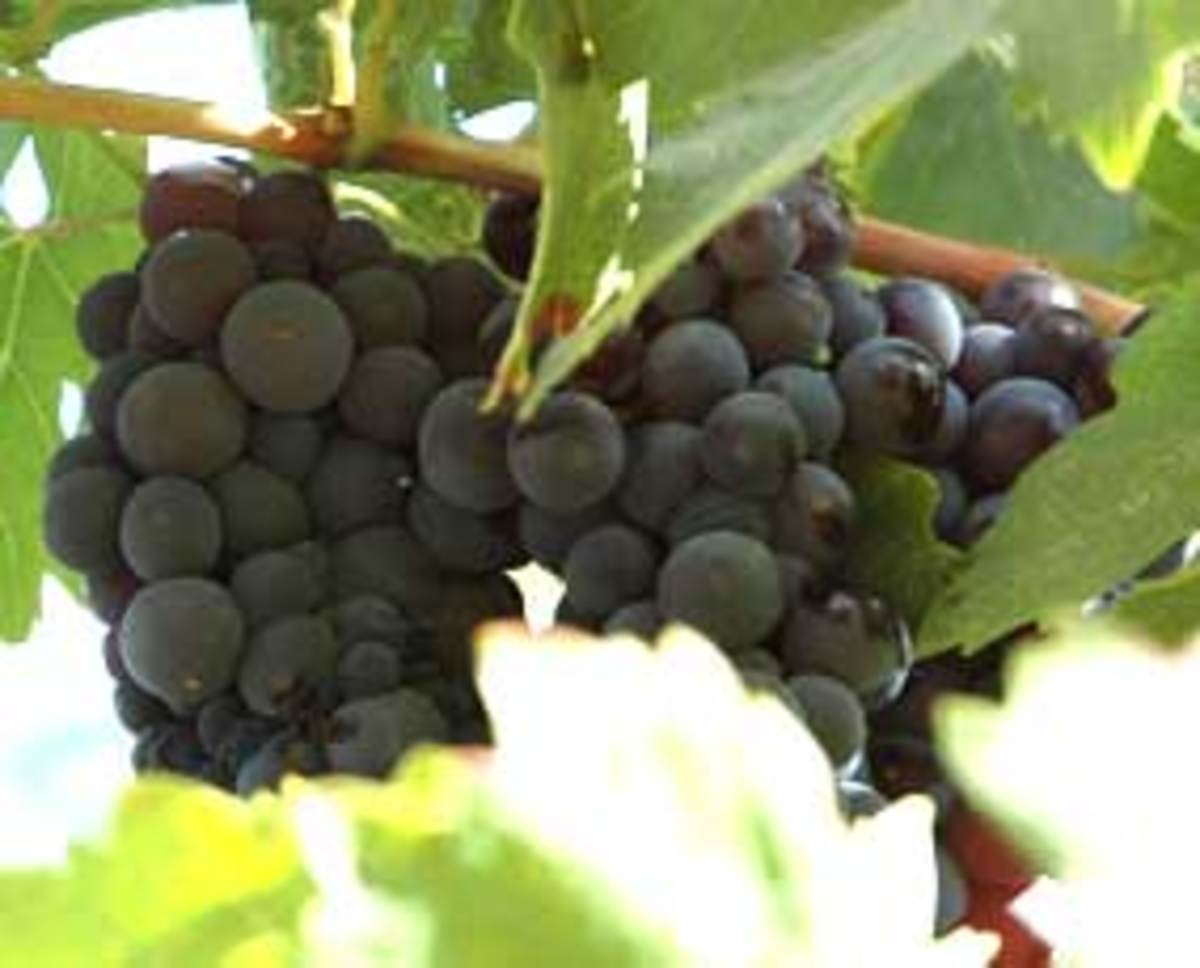 organic wine grapes