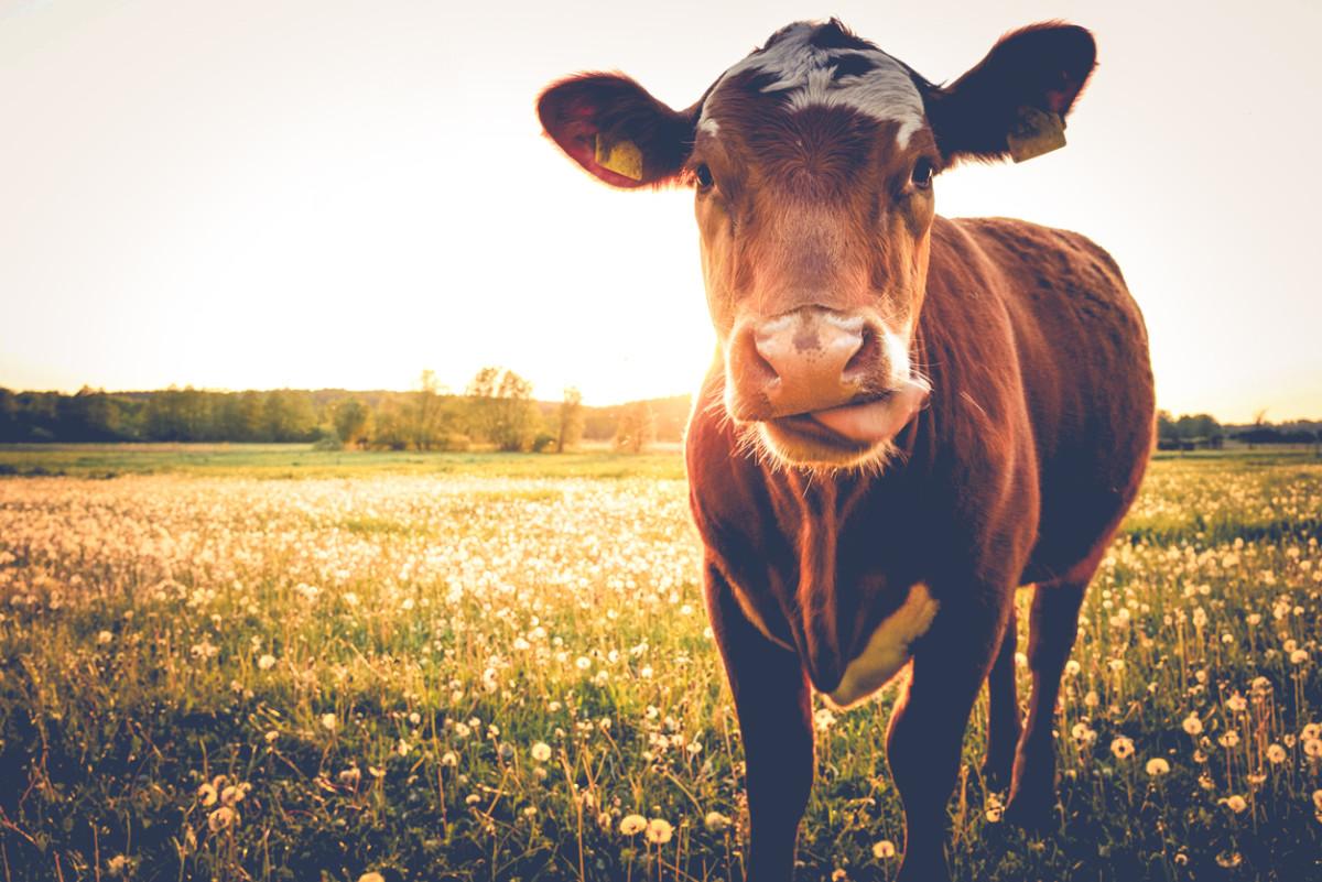 We Underestimated Global Livestock Methane Gas Emissions, Study Finds