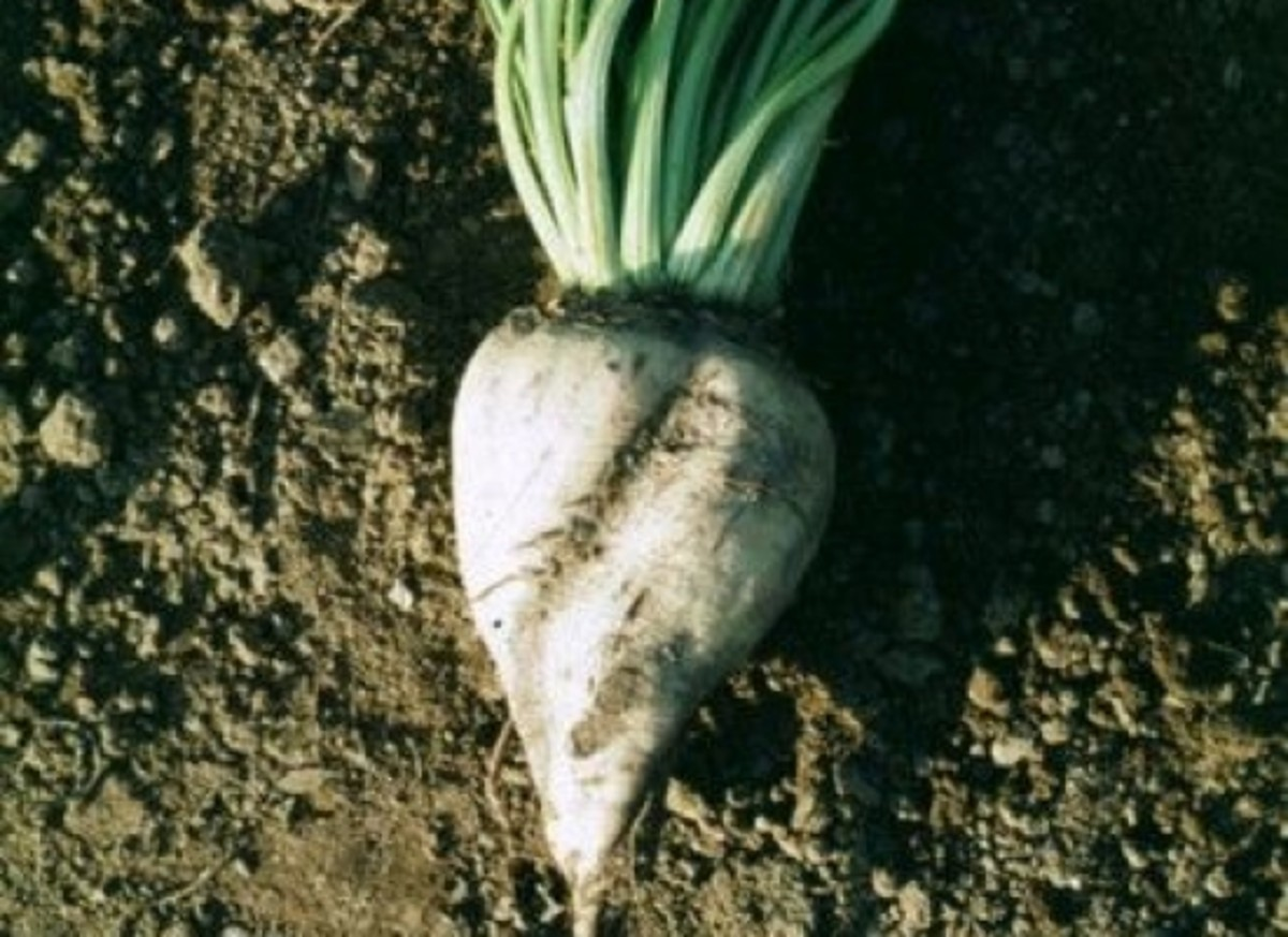 GM sugar beets approved for planting by the USDA