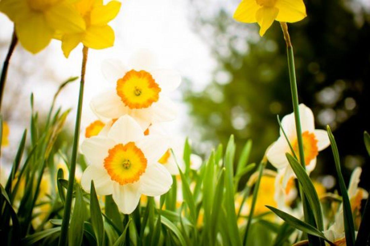 daffodils-ccflcr-mamaloco