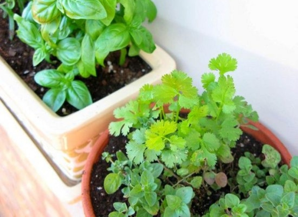 6 Herbs to Grow for a Robust Italian Garden Organic