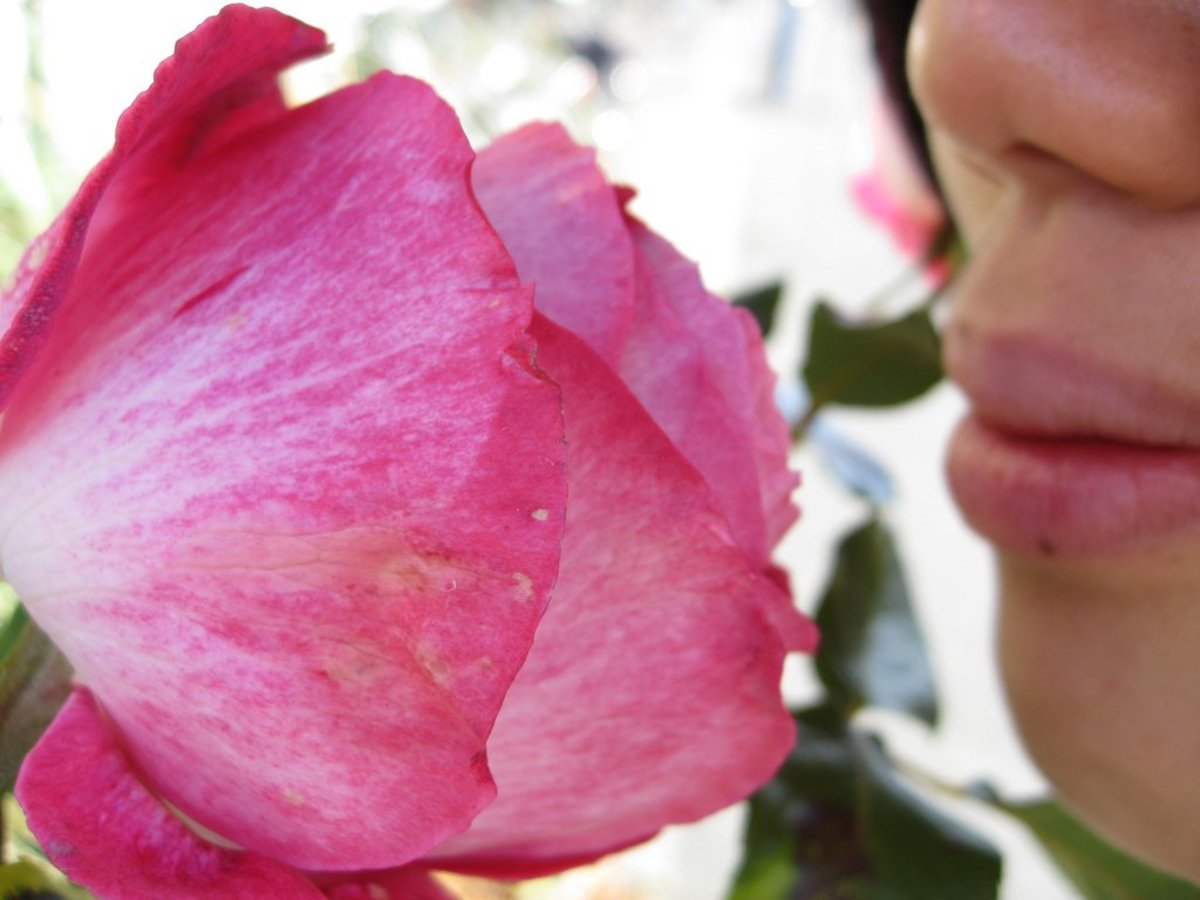 smelling a rose photo