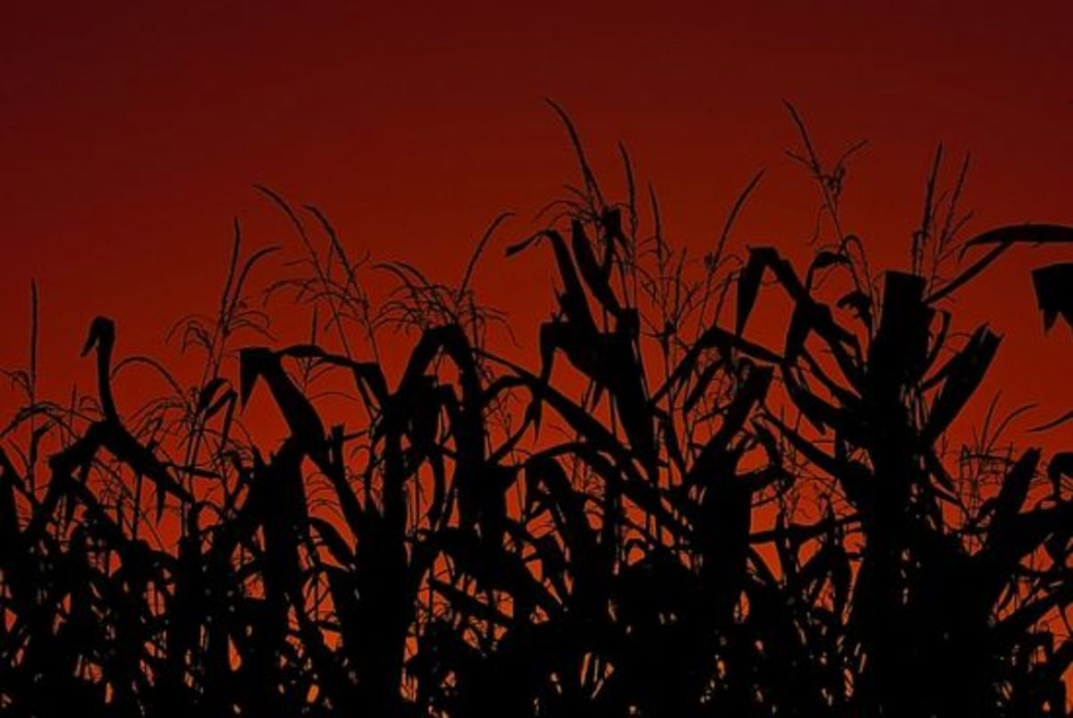 cornfield-ccflcr-knowlesgallery