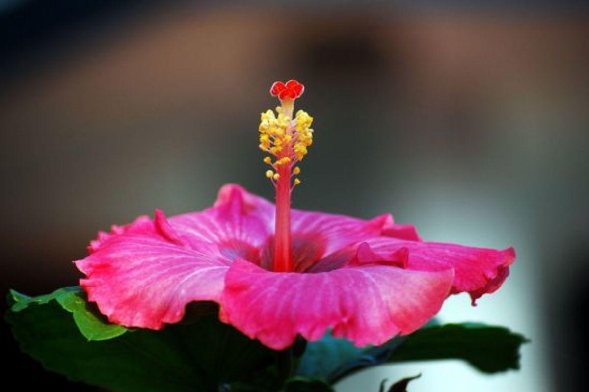 hibiscus-ccflcr-challiyan