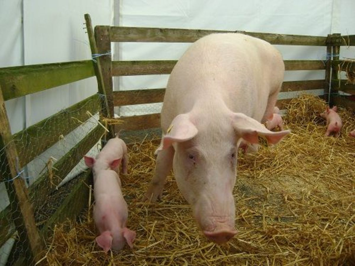 pigs-ccflcr-www.thegoodlifefrance.com_