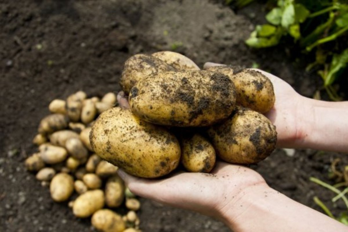 growing potatoes in the field