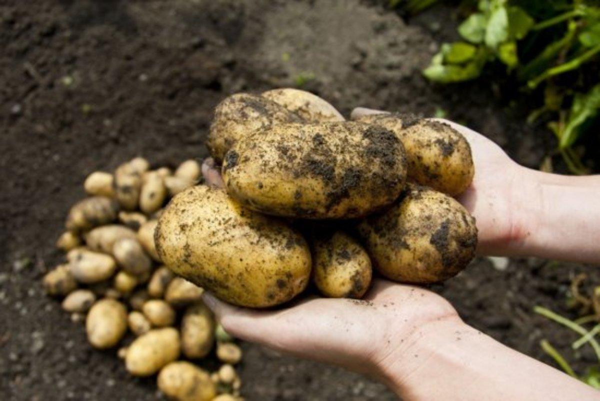 growing potatoes in the field