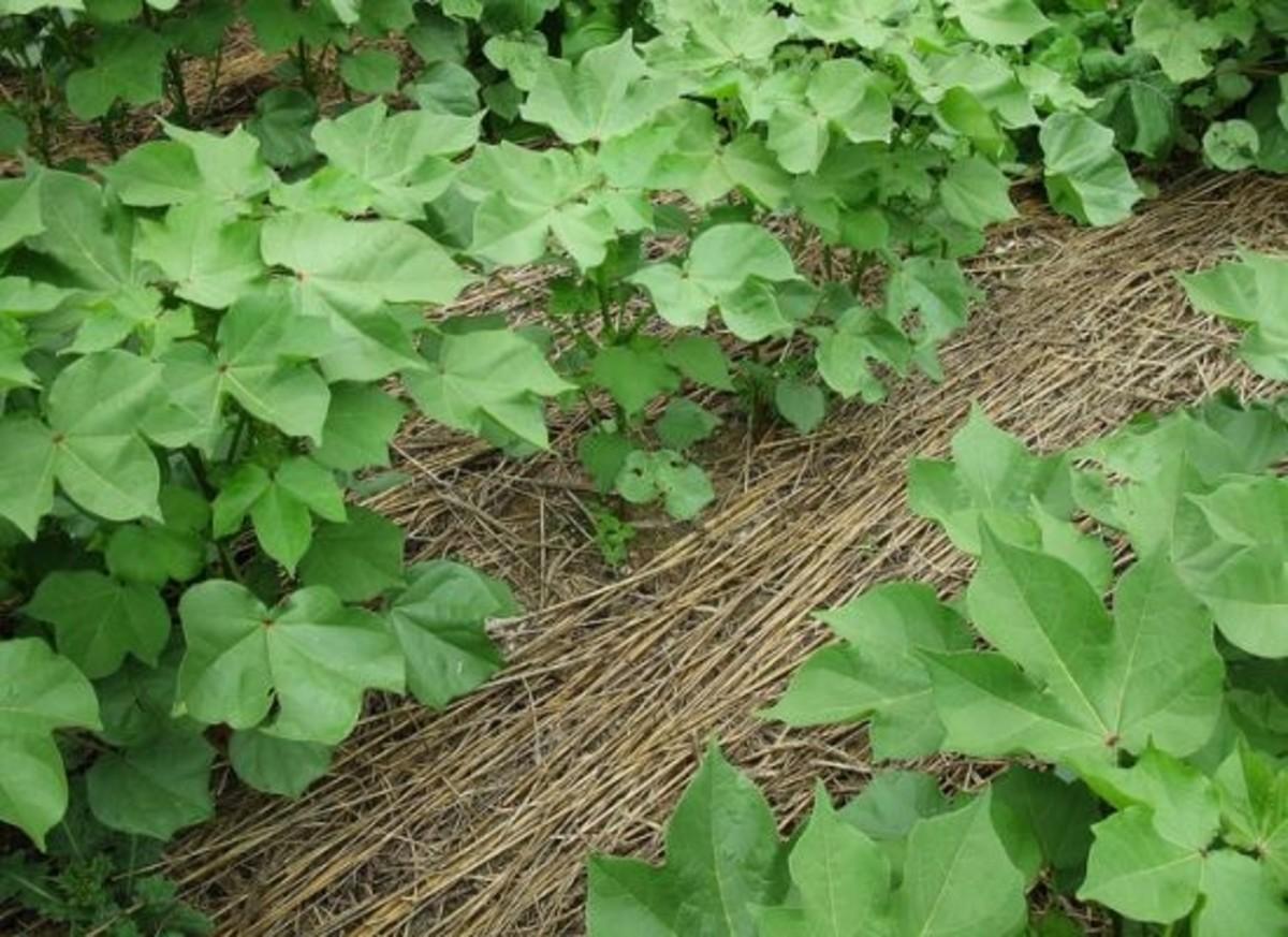 covercrop-ccflcr-NRCS-Soil-Health