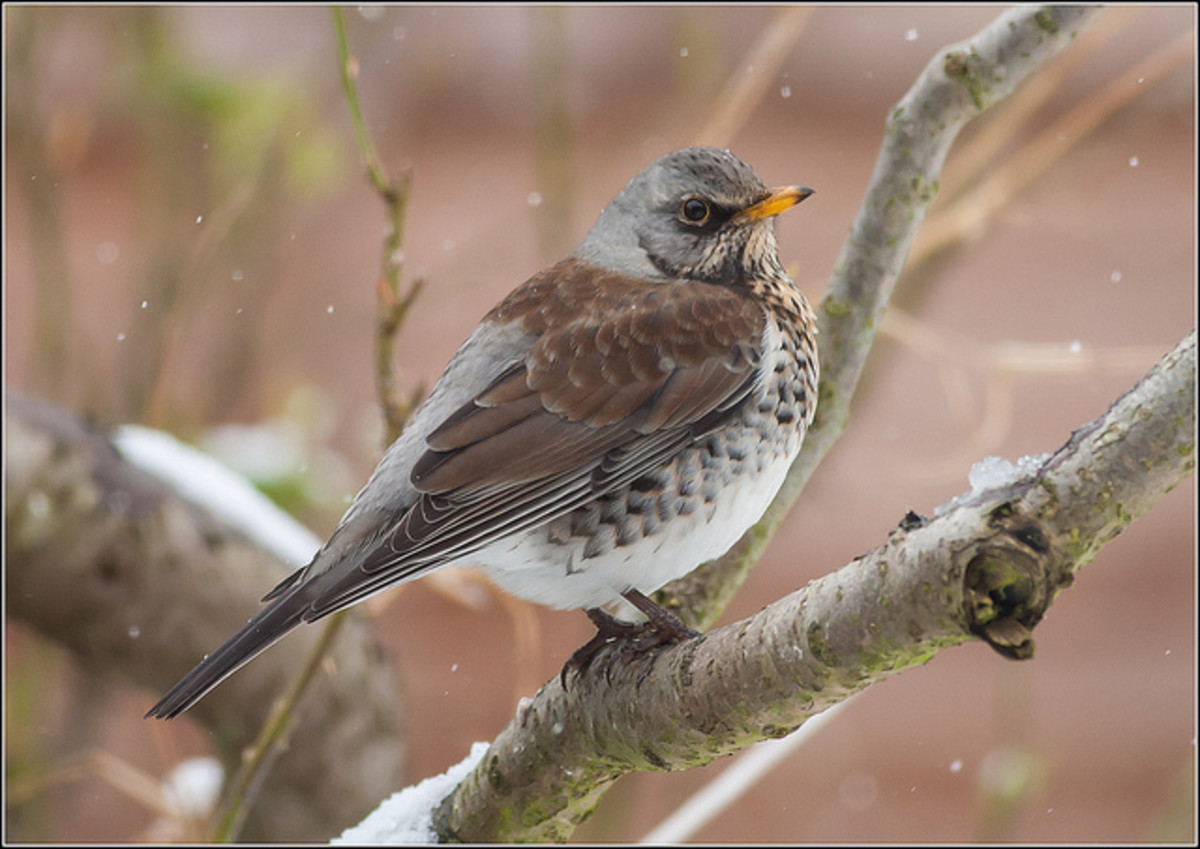 bird cc
