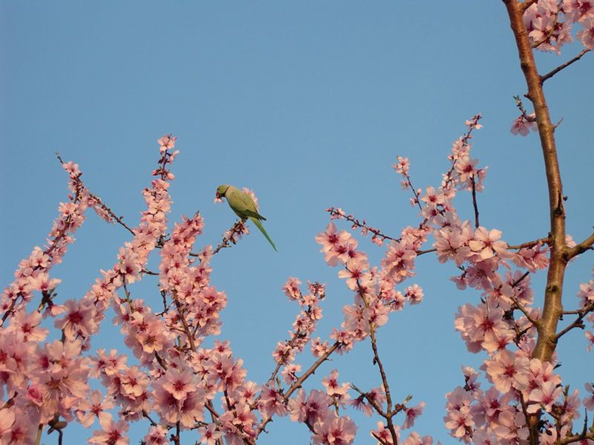800px-Rose_ringed_Parakeet_in_bitter_Almond
