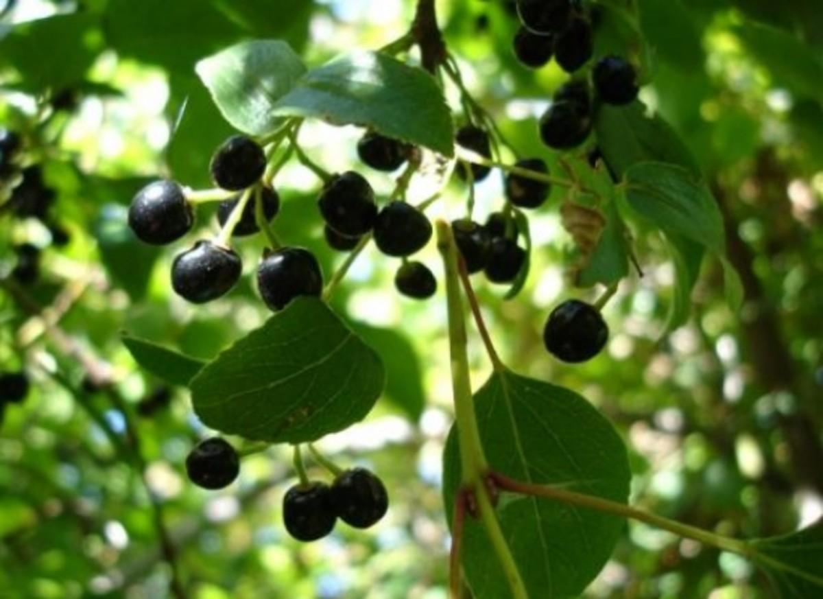 maqui-berries-wmc