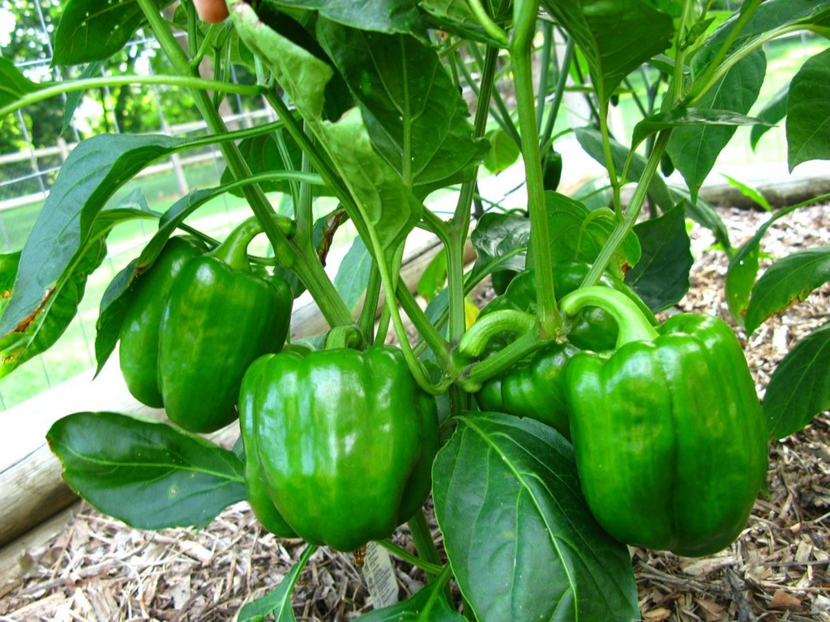 growing bell peppers photo