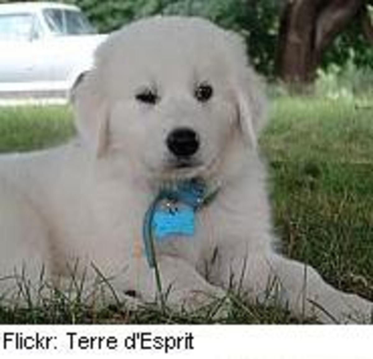 sheepdog3