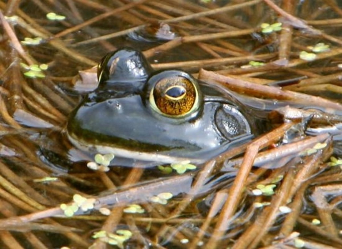 frog-ccflcr-VeloSteve1