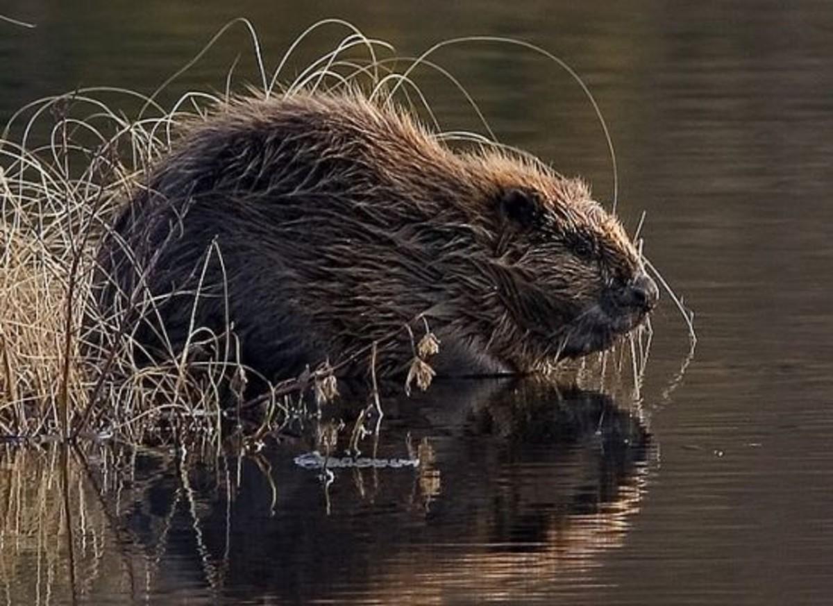 beaver-ccflcr-flickkerphotos