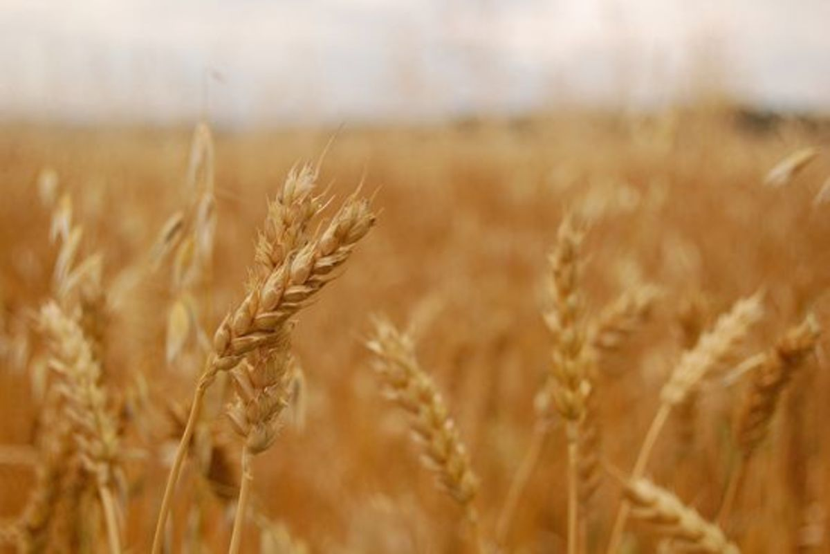 wheat-ccflcr-jayneandd