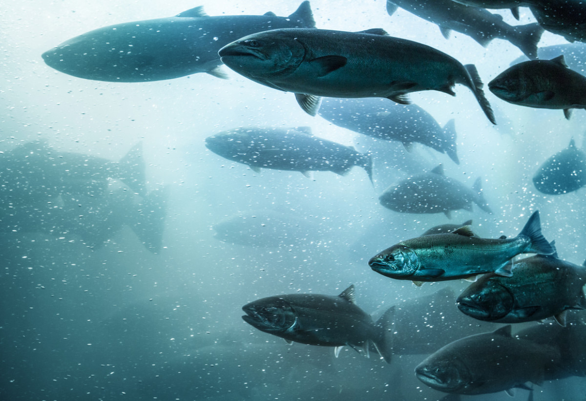 AquAdvantage Blocked from Importing GMO Salmon Pending Federal Labeling Regulations