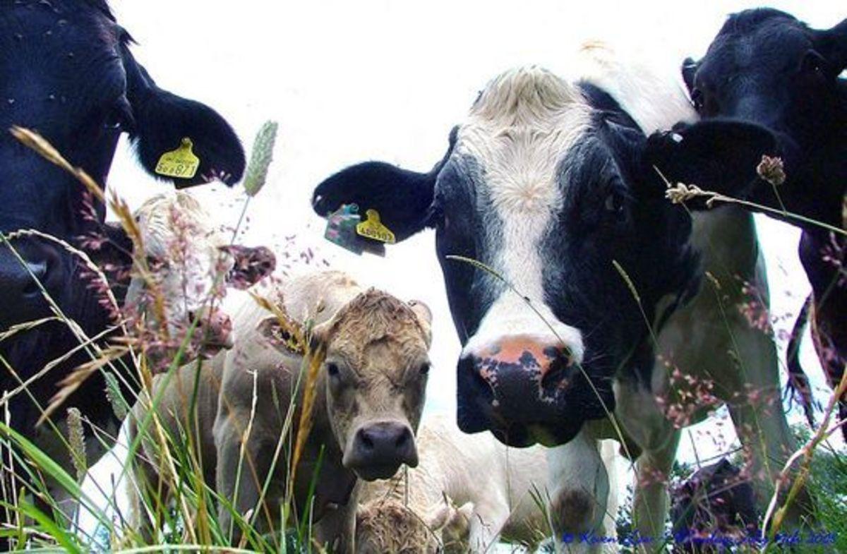 cows-ccflcr-KevenLaw1