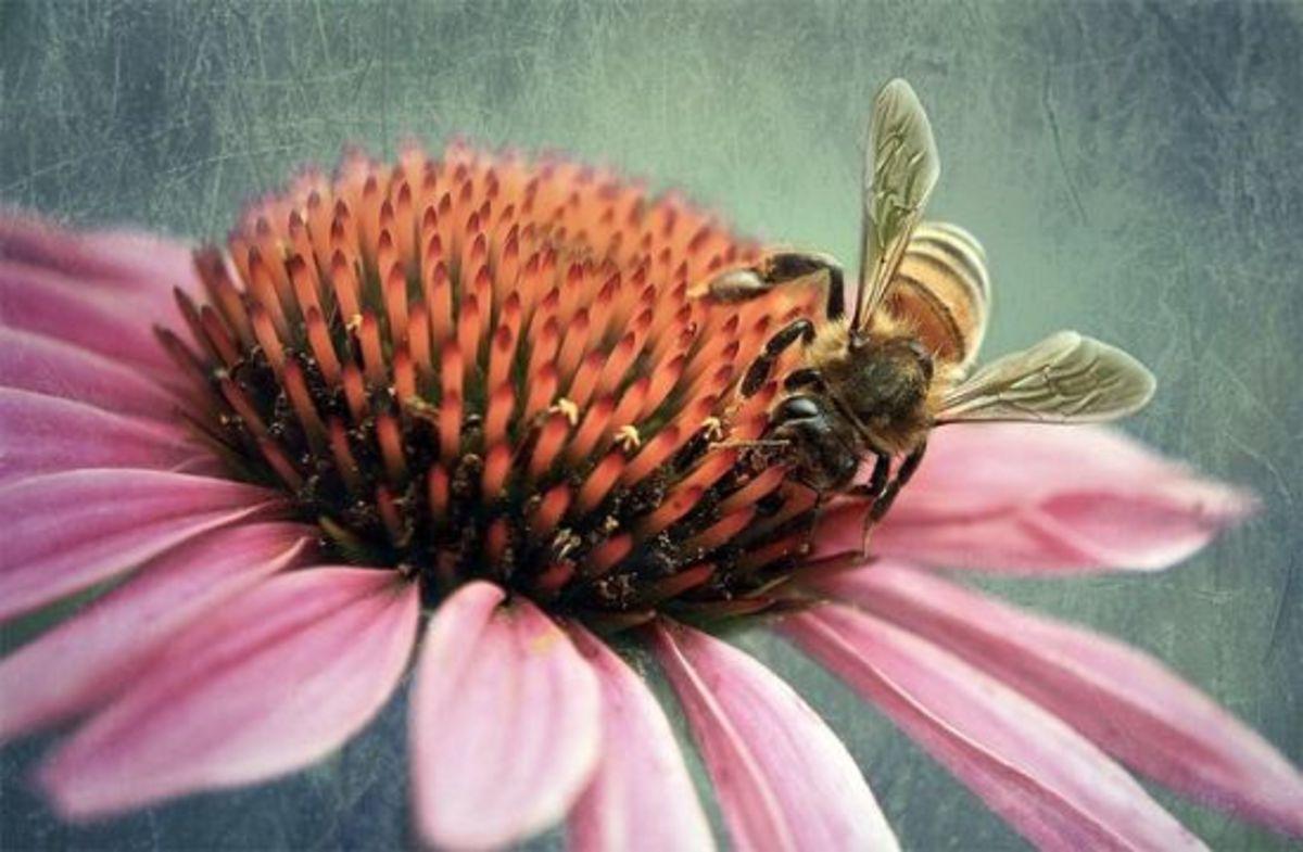 echinacea-ccflcr-aussiegirl