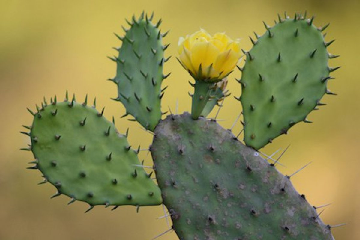 Cactus varieties for cold weather climates organic authority for Cactus variedades