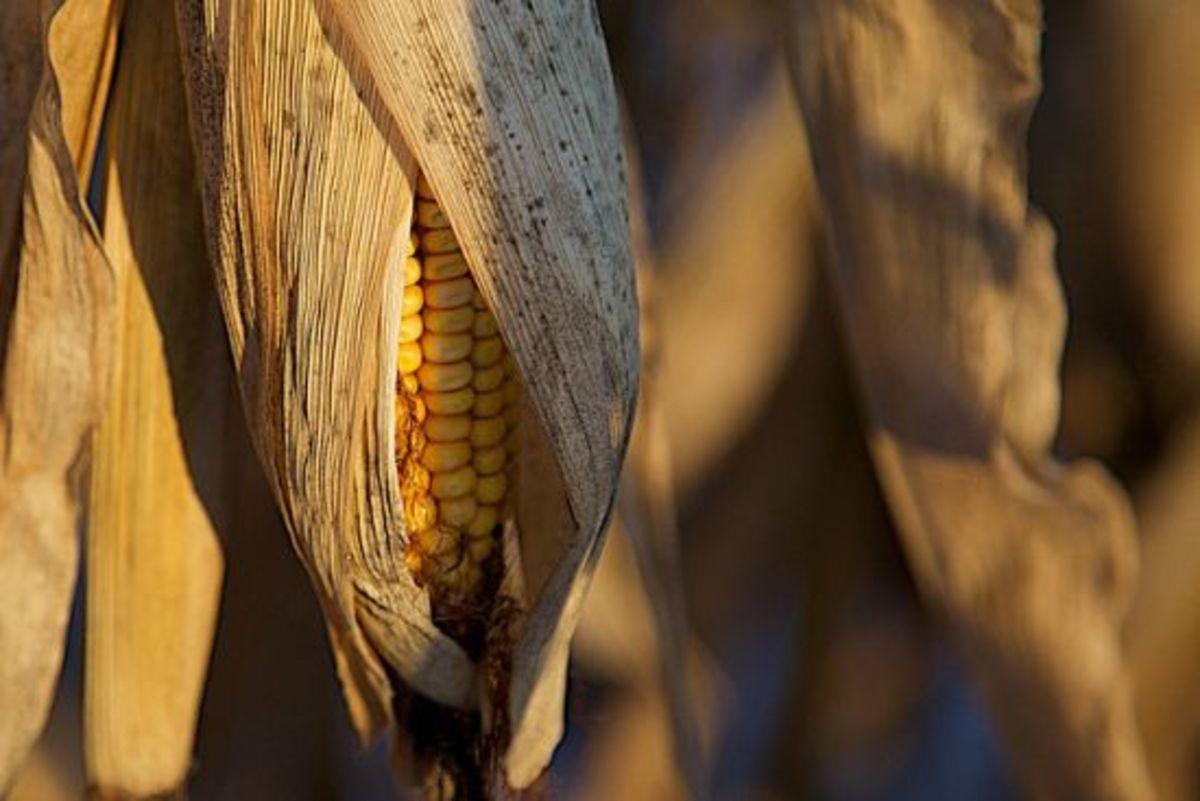 corn-ccflcr-perrymckenna