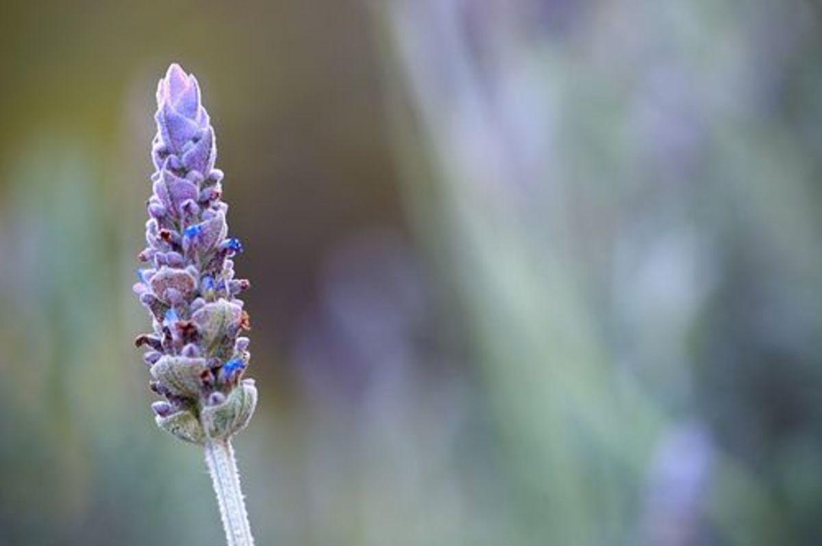 lavender-ccflcr-effekt